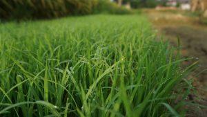 Đubrenje travnjaka